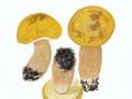 Boletus edulis var. citrinus NPH