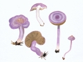 Inocybe lilacina (Peck) Kauffmann , Violetter Risspilz , Violettseidiger Risspilz