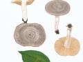 Lactarius circellatus Fr. Gebänderter Hainbuchen-Milchling , Hainbuchen-Milchling , Gebänderter Milchling