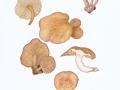 Neolentinus adhaerens (Alb. & Schwein.: Fr.) Readhead & Ginns , Harziger Sägeblättling