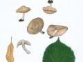Lyophyllum crassifolium (Sacc.) Sing. s.auctor , Rauchgrauer Mehlschwärzling , Rundsporiger Mehlschwärzling , Dickblättriger Mehlschwärzling ,