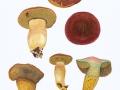 Xerocomus quercinus