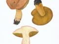 Butyriboletus subappendiculatus NPH