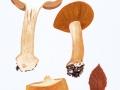 Cortinarius (Phleg.) talus  Fr. , Falbblättriger Klumpfuß , Sägeblättriger Klumpfuß , Falbblättriger Honig-Klumpfuß2