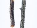 Diatrypella verruciformis  (Erh.) Nitschke , Warziges Eckenscheibchen