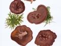 Gyromitra perlata (Pers.: Fr.) Kreisel , Nadelholz-Scheibenlorchel
