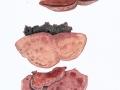 Hapalopilus rutilans (Pers.: Fr.) Murrill , Zimtfarbener Weichporling