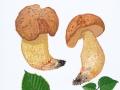 Hemileccinum depilatum (Redeuilh) Sutara , Gefleckthütiger Rührling , Gehämmerter Röhrling