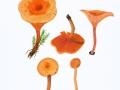 Hygrophoropsis aurantiaca (Fr.) Karst. , Falscher Pfifferling