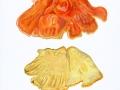 Laetiporus sulphureus (Bull.: Fr.) Murrill , Schwefelporling