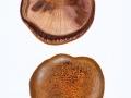 Paxillus validus C. Hahn , Großer Krempling