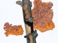 Phlebia radiata Fr. , Orangeroter Kammpilz
