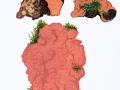 Rhodonia placenta (Fr.) Niemelä et al. , Rosafarbener Saftporling , Rosafarbener Nadelholz-Saftporling