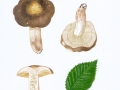 Russula carpini R. Girard & Heinem. , Hainbuchen-Täubling