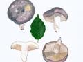 Russula cyanoxantha (Schaeff.) Fr. , Frauen-Täubling , NPH