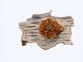 Tremella foliacea
