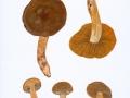 Cortinarius (Lepr.)  cotoneus  Fr. , Olivbrauner Raukopf