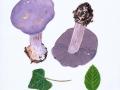 Cortinarius (Phleg.) eucaeruleus Hry. , Adeliger Klumpfuß