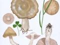 Entoloma clypeatum (L.) Kumm. , Schild-Rötling , Festfleischiger Frühlings-Rötling