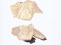 Gloeocystidiellum luridum (Bres.) Boidin , Ockergelber Gloeocystidenrindenpilz , Fahlgelber Gloeocystidenrindenpilz ,