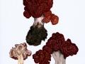Gyromitra esculenta (Pers.: Fr.) Fr. , Frühjahrs-Giftlorchel , 2