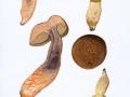 Lecinellum crocipodium (Letell.) Breseinsky & M. Binder , Gelber Raustielröhrling
