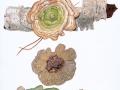 Lenzites betulinus (L.: Fr.) Fr. , Birken-Blättling , Birkentramete , Birken-Blätterporling