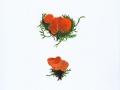 Melastiza scotica Graddon , Orangefarbener Kurzharr-Borstling