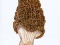 Morchella conica 1
