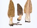 Morchella conica 2