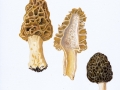 Morchella esculenta (L.: Fr.) Pers. , Rundmorchel , Gemeine Speise-Morchel