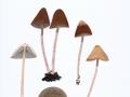 Psathyrella conopilus (Fr.: Fr.) A. Pearson & Dennis , Steifstieliger Mürbling , Lederbrauner Faserling , Steifstieliger Kegelhut-Faserling