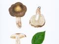 Russula carpini