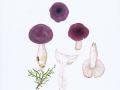 Russula fragilis Fr. , Wechselfarbiger Spei-Täubling