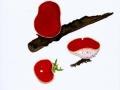 Sarcoscypha coccinea (jacq.) Boudier , Scharlachroter Kelchbecherling , Zinnoberroter Kelchbecherling , Echter Orachtbecherling