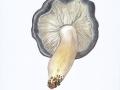 Tricholoma portentosum (Fr.: Fr.) Quél. , Schwarzfaseriger Ritterling , Schnee-RitterlingNPH