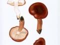 Tricholoma ustaloides Romagn. , Bitterer Eichen-Ritterling
