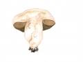 Porphyrellus porphyrosporus 2, NPH