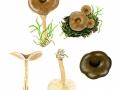 Clitocybe strigosa Harmaja , Striegeliger Trichterling