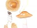 Cortinarius (Myx.) elatior 2