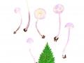Cystolepiota bucknallii (Berk. & Broome) Singer & Clémencon, Violetter Mehlschirmling, Lilafarbener Skatol-Mehlschirmling