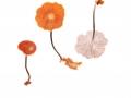 Gymnopus brassicolens (Romagn.) Antonin & Noordel. , Stinkkohl-Blasssporrübling, Kohlstinkschwindling