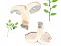 Hydnellum glaucopus 2