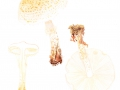 Lepiota cortinarius J:E.Lange , Schleierschirmling
