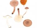 Lepiota echinacea