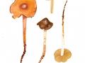 Phaeocollybia christinae