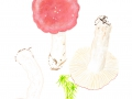 Russula aquosa Leclair , Wässriger Moor-Täubling, Sumpf-Täubling, Fastmilder Täubling
