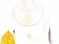 Russula cyanoxantha, 2