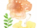 Russula variecolor 2
