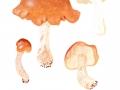 Tricholoma ustale (2)